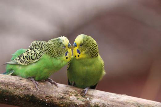 Dve zelene ptice